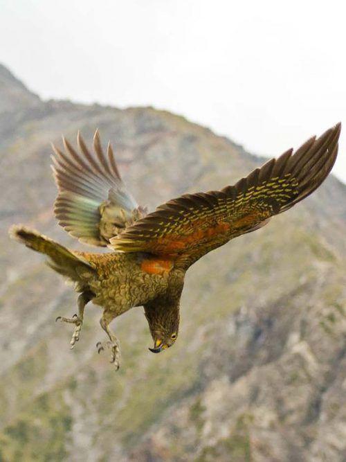 Die schlauen Bergpapageien nehmen alles, was nicht niet- und nagelfest ist, ins Visier und treiben auf der Südinsel Neuseelands so manchen Schabernack. AFP