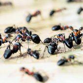 Ameisen in ärztlicher Mission