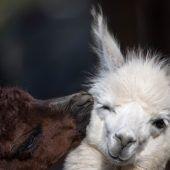 Alpaka auf Kuschelkurs