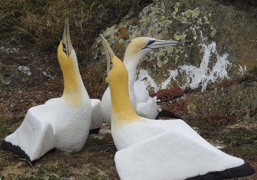 Nigel verliebte sich in eine der 80 Tölpel-Nachbildungen auf der Insel Mana.