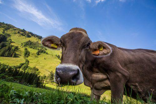 Der Alpwirtschaftsverein würde sich noch mehr Tiere auf den heimischen Alpen wünschen. Das Nahrungsangebot wächst.VN-Steurer