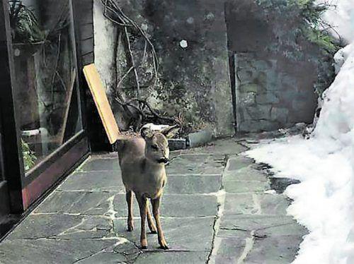 Der strenge Winter setzt dem Wild zu. Der Überlebenskampf führt Rehe im Klostertal bis auf die Hausterrassen. Juritsch