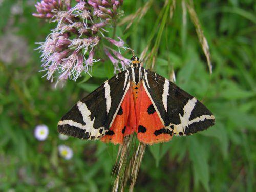 Über 2500 Schmetterlingsarten soll es in Vorarlberg geben. Derzeit wird die Rote Liste gefährdeter Arten überarbeitet.inatura