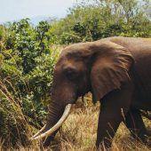 Afrika fordert Verbot von Elfenbeinhandel in der EU