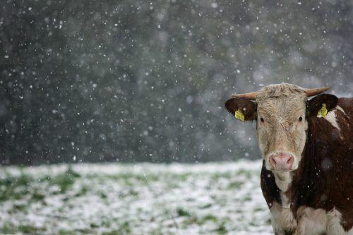 Dieses Rind schaut zwar etwas entgeistert durch das Schneetreiben, in Erfrierungsgefahr ist es jedoch nicht. VN/Hartinger