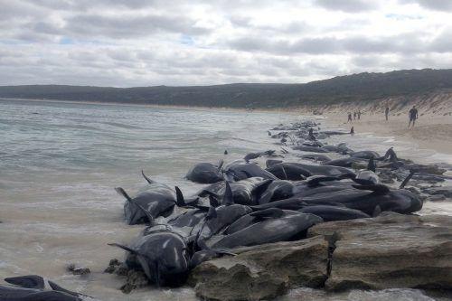 Warum die Wale strandeten, war zunächst nicht bekannt. AFP