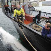 Jagd auf Finnwale startet im Sommer
