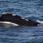 Babyflaute bei gefährdeten Glattwalen