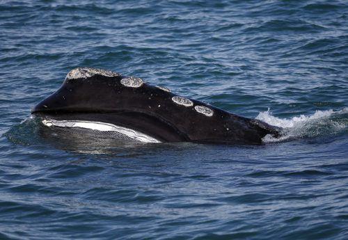Nach Schätzungen der Wissenschaft gibt es nur noch 450 Nordatlantische Glattwale. AP