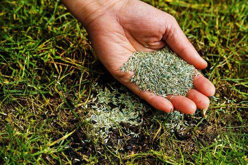 Kahle Stellen sollten mit Rasensamen behandelt und im Anschluss täglich gewässert werden.
