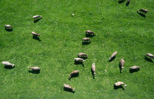 Kein seltenes Bild: Für die grünen Wiesen des Landes sind Kühe die geeignetsten Tiere. VN/Hartinger