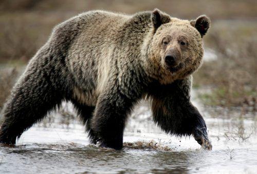 22 Bären sind zum Abschuss freigegeben worden. Reuters