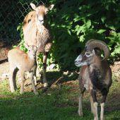 Nachwuchsfreuden im Feldkircher Wildpark
