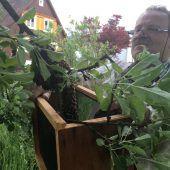 Im Mai schwärmen die Bienenvölker aus