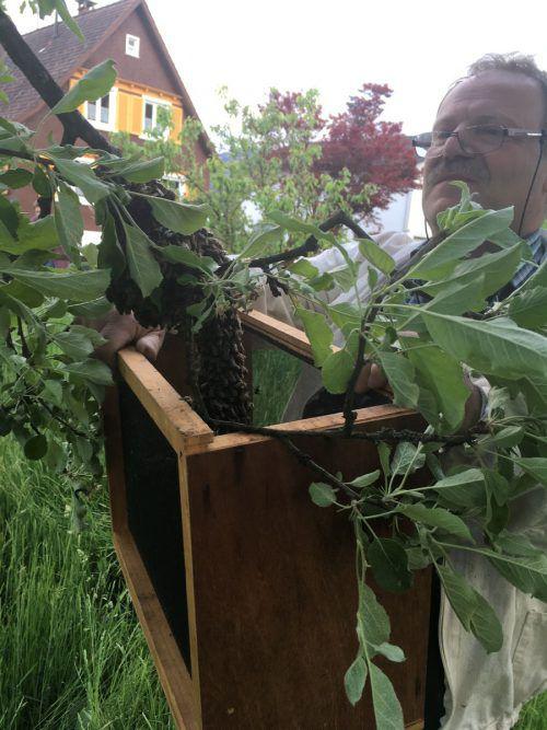 Die Imker rufen dazu auf, Bienenschwärme und Bienentrauben zu melden, damit sie sie rechtzeitig einfangen und so ihr Überleben sichern können.