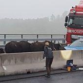 Entlaufene Wasserbüffel legen Verkehr auf Autobahn lahm