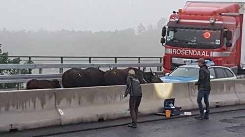 Die Tiere liefen kreuz und quer über die Autobahn. dpa