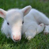 Weißes Rentierbaby