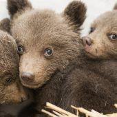 Bären auf großer Reise