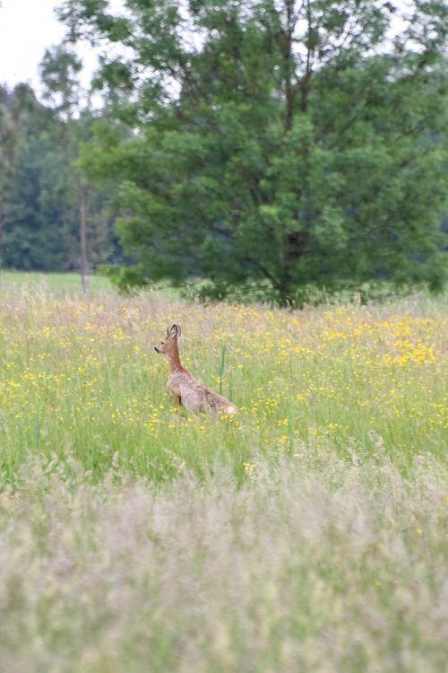 Im Jagdrevier Dornbirn–Ried Nord leben rund 40 Rehe.