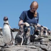 Pinguine sollen zum Hörtest