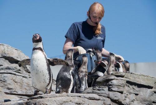 In dem Projekt wird erforscht, in welchen Frequenzbereichen und Lautstärken verschiedene Pinguin-Arten an Land und im Wasser hören. dpa