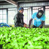 Ceylon Tee direkt aus der Fabrik
