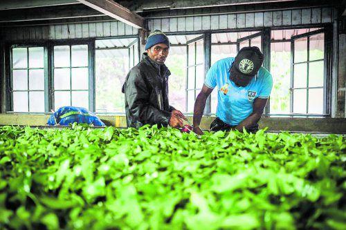 In der Fabrik werden die frisch gepflückten Blätter zu Grün- und Schwarztee verarbeitet.