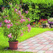 Oleander – der mediterrane Allrounder