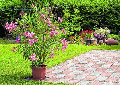 In großen Töpfen kommt der Oleander besonders gut zur Geltung.