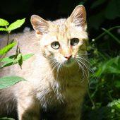 Wildkatze in freier Wildbahn entdeckt