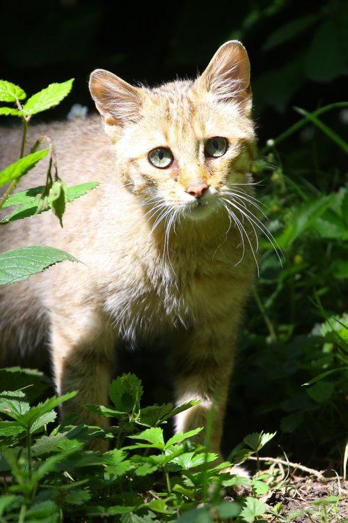Seit Kurzem gibt es in Vorarlberg nicht nur im Feldkircher Wildpark Wildkatzen.VN/HB
