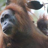 Gefahr für Orang-Utans