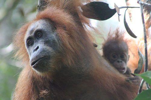 Wegen des geringen Bestandes gilt die neue Orang-Utan-Art als sehr gefährdet. AFP