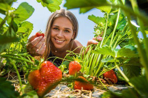Zeit der süßen Früchtchen: Köstliche Erdbeeren aus der Region stehen bereits wieder auf dem saisonalen Speiseplan.VN/Steurer