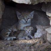 Niedliche Sandkatzen