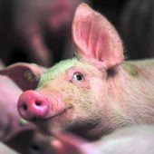 Astronautennahrung für Kühe und Schweine schont Umwelt