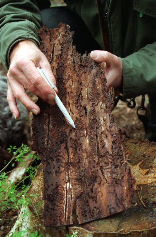In Massen auftretend, arbeitet der Borkenkäfer konsequent daran, gesunde Bäume zu zerstören. dpa