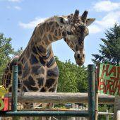 Ältester Giraffenbulle Europas feiert in Schönbrunn Geburtstag