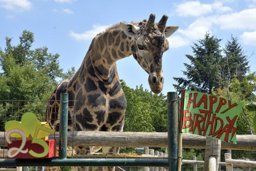 """""""Kimbar"""" wurde 1993 im Zoo Emmen geboren und wohnt seit 1995 in Schönbrunn. APA"""