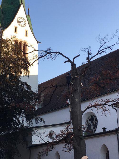 Die beiden Bäume wurden etappenweise bis zum Wurzelwerk abgetragen. VN/Schweigkofler