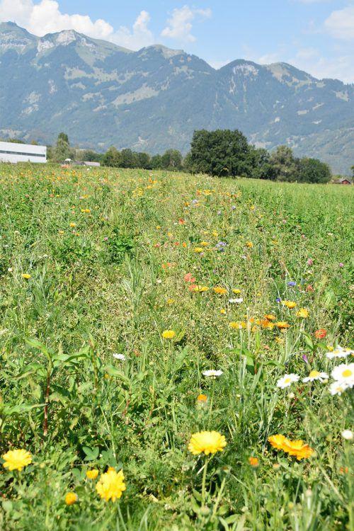 Eine Blühfläche im südlichen Bereich des Unteren Petzlernwegs in Rankweil, ein besonders blütenreicher Teil des Weitriedes. Marktgemeinde Rankweil