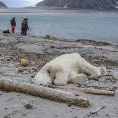 Bremen-Kreuzfahrt: Tötung des Eisbären empört Tierschützer
