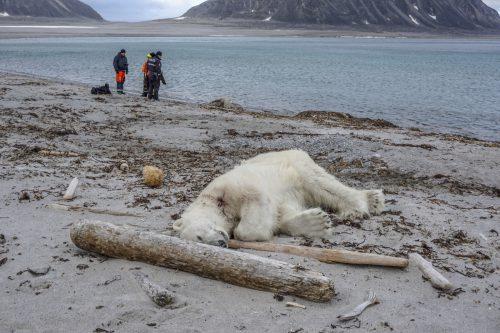 Eisbärenwächter haben den Eisbär vor dem Landgang erschossen. AP