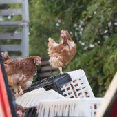 Hühner sind Importschlager