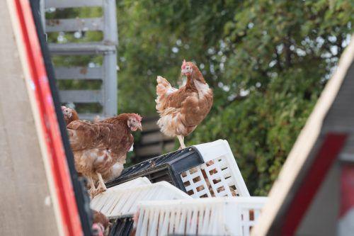 Hühnertransporte sind oft richtig groß: 2017 verunglückte auf der A1 in Oberösterreich ein Tiertransporter mit rund 7000 Hühnern. APA