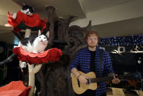 Im ersten Katzencafé Londons steht eine von Madame Tussauds gestaltete Wachsfigur von Ed Sheeran. AP