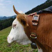 Tiroler und Oberbayern testen elektronische Kuhglocken