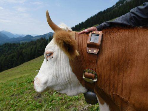 Mit den elektronischen Glocken können Kühe über GPS geortet werden.