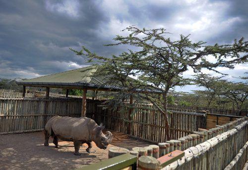 Sudan war das letzte männliche Nördliche Breitmaulnashorn der Welt. Er musste im März im Alter von 45 Jahren eingeschläfert werden. AFP